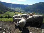 Les moutons de la ferme
